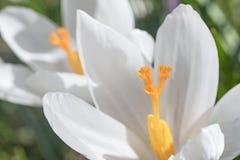 Opinião do close up da flor branca do açafrão Imagem de Stock
