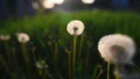 Opinião do close-up da flor do dente-de-leão no por do sol filme