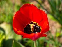 Opinião do close up da flor da tulipa na jarda imagem de stock royalty free