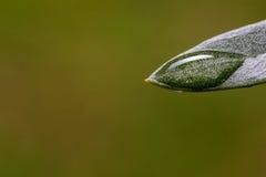A opinião do close-up da folha verde-oliva com água deixa cair após a chuva Imagens de Stock Royalty Free