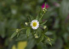 Opinião do close up da margarida branca e dos botões pequenos, Philadelphfia, Pensilvânia imagem de stock royalty free