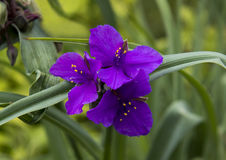 Opinião do close up da uva de concórdia do Tradescantia fotografia de stock