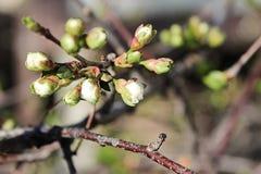 A opinião do close up das flores de cerejeira na primavera fotos de stock royalty free