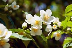 Opinião do close up das flores de Philadelphus nos arbustos Imagens de Stock