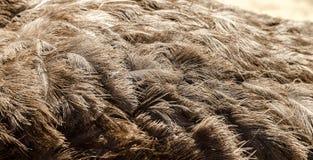 Opinião do close-up das penas de uma avestruz Fotos de Stock