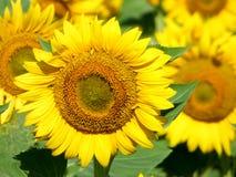 Opinião do close-up de algum girassol Fotos de Stock Royalty Free