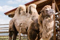 a opinião do close up de dois humped o camelo que está na cerca fotografia de stock