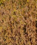 Opinião do Close-up de feijões de soja de amadurecimento Fotografia de Stock