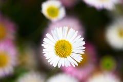 Opinião do close-up de flores bonitas da margarida fotografia de stock royalty free