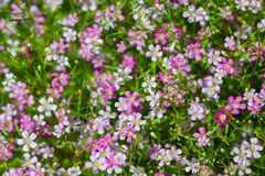 Opinião do close up de flores do gypsophila Imagem de Stock