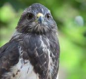 Opinião do Close-up de um buzzard comum majestoso fotografia de stock