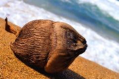 Opinião do Close-up de um coco em uma praia tropical Fotografia de Stock Royalty Free
