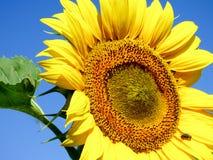 Opinião do close-up de um girassol com fundo do céu azul Fotos de Stock Royalty Free