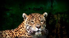 Opinião do close-up de um onca do Panthera de Jaguar fotografia de stock