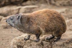 Opinião do close-up do Hyrax no parque nacional de Nakuru (Kenya) Fotos de Stock