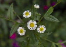 A opinião do close up dos diversos margarida branca pequena floresce com centros amarelos, Philadelphfia, Pensilvânia imagens de stock royalty free