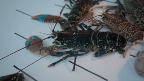 Opinião do close-up a lagosta no aquário da agua potável no mercado do marisco filme