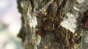 Opinião do close up os firebugs que sentam-se na casca da árvore de vidoeiro fotografia de stock royalty free