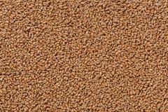 Opinião do close up Pale Pilsener Malt Grains Ingrediente para a cerveja imagem de stock
