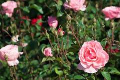 Opinião do close up rosas cor-de-rosa bonitas no parque da cidade Imagens de Stock Royalty Free
