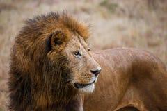 Opinião do close-up uma rapina de observação do leão masculino no parque nacional de Ngorongoro (Tanzânia) Fotos de Stock Royalty Free
