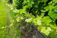 Opinião do close up uma vinha Fotografia de Stock Royalty Free