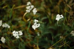 Opinião do close up do Yarrow Planta cura imagem de stock
