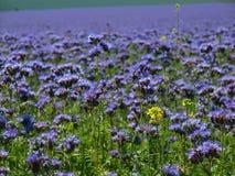 Opinião do detalhe ao campo roxo azul do Tansy no campo no dia de verão quente Flores roxas azuis verdes na flor Fotos de Stock Royalty Free
