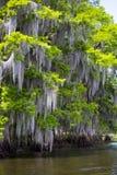 Opinião do detalhe da árvore de cipreste imagens de stock royalty free