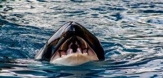 Opinião do detalhe de uma orca com boca aberta imagens de stock royalty free