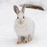 Opinião do frontal da lebre de sapato de neve Fotos de Stock
