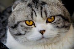 A opinião do gato de orelhas caídas britânico Fotos de Stock