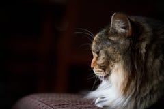 Opinião do gato no perfil no sofá Foto de Stock Royalty Free