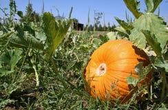 Opinião do jardim da abóbora Foto de Stock
