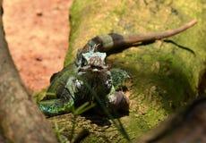 Opinião do lagarto Imagem de Stock