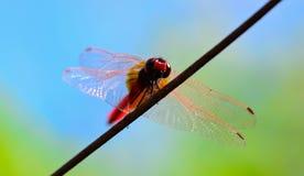 Opinião do olho do sem-fim a libélula vermelha da cauda que está no fio Fotografia de Stock