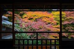 Opinião do outono das árvores de bordo na cor vibrante da queda quadro por um balcão de madeira japonês fotos de stock royalty free