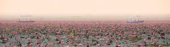 Opinião do panorama o lírio de água cor-de-rosa bonito no lago em Tailândia Foto de Stock