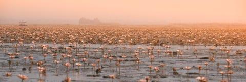 Opinião do panorama o lírio de água cor-de-rosa bonito no lago em Tailândia Fotografia de Stock
