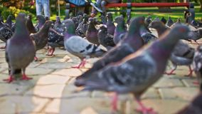 Opinião do rés do chão a multidão de pombos da cidade no pavimento video estoque
