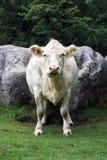 Opinião do retrato da vaca do charolês Foto de Stock Royalty Free
