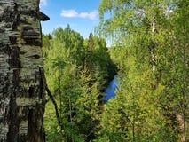 Opinião do rio da parte superior nas madeiras com o tronco de árvore do vidoeiro foto de stock