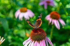 Opinião dorsal a borboleta de Vanessa Atalanta Red Admiral em um campo do Echinacea Coneflowers fotos de stock royalty free