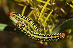 Opinião dorsal das lagartas da falcão-traça de Spurge - euphorbiae de Hyles Fotos de Stock