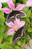 Opinião dorsal duas borboletas pretas orientais masculinas recentemente eclosed de Swallowtail fotos de stock