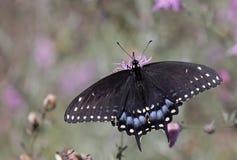 Opinião dorsal preta oriental de Swallowtail fotos de stock royalty free