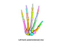 Opinião dorsal traseiro da mão esquerda Fotos de Stock Royalty Free