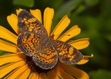 Opinião dorsal uma borboleta do crescente da pérola Fotografia de Stock Royalty Free