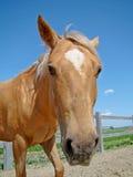 Opinião engraçada do fisheye um cavalo do palomino fotografia de stock