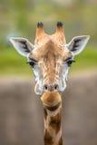 Opinião frontal o girafa do sul foto de stock royalty free